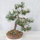 Outdoor bonsai - Pinus Mugo - Kneeling Pine - 2/4