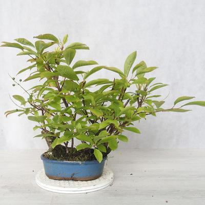 Outdoor bonsai - bird cherry - Prunus padus - 2