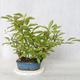 Outdoor bonsai - bird cherry - Prunus padus - 2/3