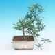 Room bonsai - Gardenia jasminoides-Gardenie - 2/2