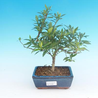 Room bonsai - Gardenia jasminoides-Gardenie - 2