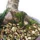 Outdoor bonsai -Larix decidua - Larch - 2/5