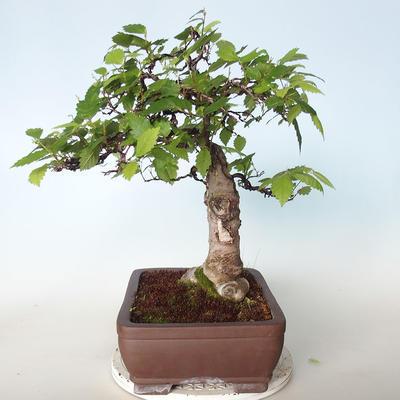 Outdoor bonsai - Zelkova - 2