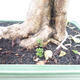 Indoor bonsai - Duranta erecta Aurea - 2/6