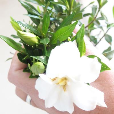 Indoor bonsai - Gardenia jasminoides-Gardenia - 2