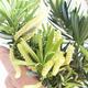Indoor bonsai - Podocarpus - Stone thous - 2/2