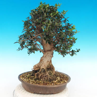 Indoor bonsai - Olea europaea sylvestris -Oliva european tiny - 2