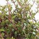 Outdoor bonsai-Lonicera nitida-Honeysuckle - 2/2