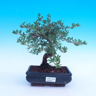 Outdoor bonsai - Potentilla fruticosa - 2