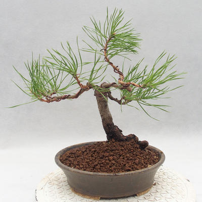 Outdoor bonsai - Pinus sylvestris - Scots pine - 2