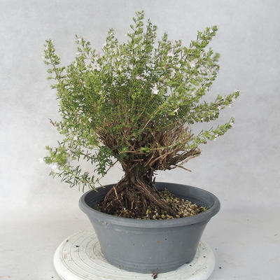 Outdoor bonsai - Satureja mountain - Satureja montana - 2