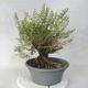 Outdoor bonsai - Satureja mountain - Satureja montana - 2/6