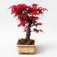 Outdoor bonsai - Maple palmatum DESHOJO - Japanese Maple - 2/5