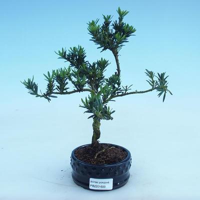 Indoor bonsai - Podocarpus - Stone thous - 2