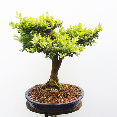 Outdoor bonsai - Boxwood - 2