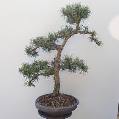 Outdoor bonsai - Pinus sylvestris Watereri - Scots Pine - 2