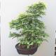 Outdoor bonsai - Hornbeam - Carpinus betulus - 2/5