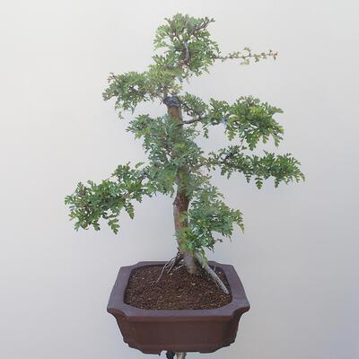 Outdoor bonsai - Hawthorn - 2