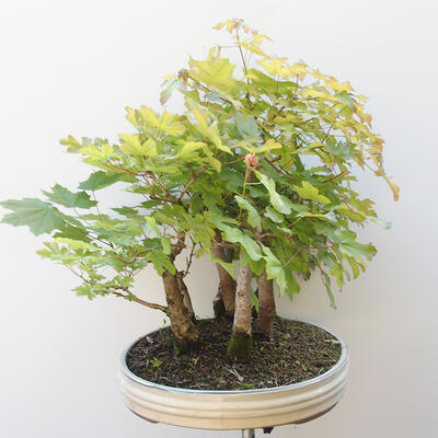 Acer campestre, acer platanoudes - Baby maple, maple - 2