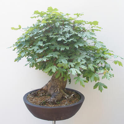Acer campestre - Baby Maple - 2