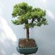 Outdoor bonsai - Boxwood - 2/5