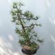 Outdoor bonsai - Pinus sylvestris - Scots pine - 2/4