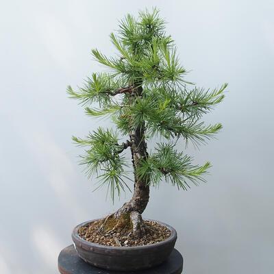 Outdoor bonsai - Larix decidua - Larch - 2