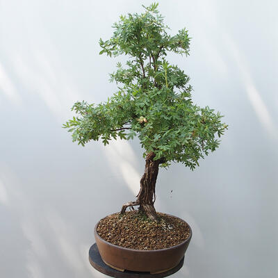 Outdoor bonsai - Cinquefoil - Potentila fruticosa yellow - 2