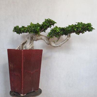 Room bonsai - Ficus nitida - small ficus - 2