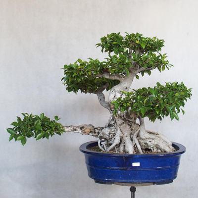 Room bonsai - Ficus kimmen - little ficus - 2