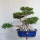 Room bonsai - Ficus kimmen - little ficus - 2/5
