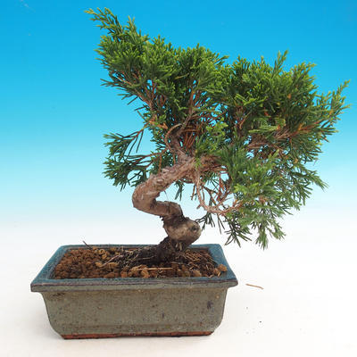 Outdoor bonsai - Juniperus chinensis Itoigava-Chinese juniper - 2