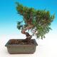 Outdoor bonsai - Juniperus chinensis Itoigava-Chinese juniper - 2/3