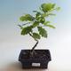 Outdoor bonsai-Quercus robur-Summer oak - 2/2