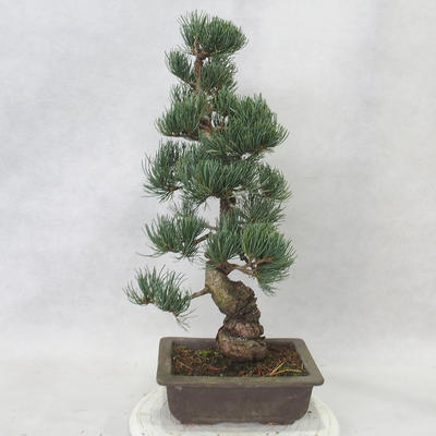 Outdoor bonsai - Pinus parviflora - Small-flowered pine - 2