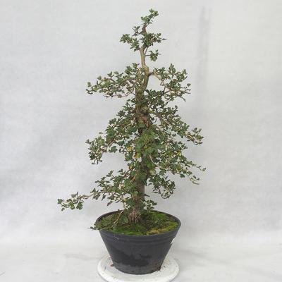 Outdoor bonsai - Hawthorn pink flowers - Crataegus laevigata paul´s Scarlet - 2