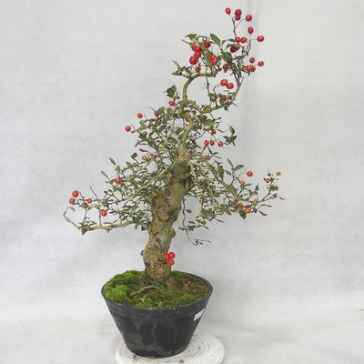 Outdoor bonsai - Hawthorn white flowers - Crataegus laevigata - 2
