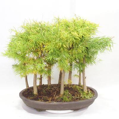 Outdoor bonsai - Pseudolarix amabilis - Pamodřín - grove of 9 trees - 2
