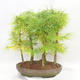 Outdoor bonsai - Pseudolarix amabilis - Pamodřín - grove of 5 trees - 2/5