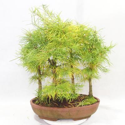 Outdoor bonsai - Pseudolarix amabilis - Pamodřín - grove of 5 trees - 2
