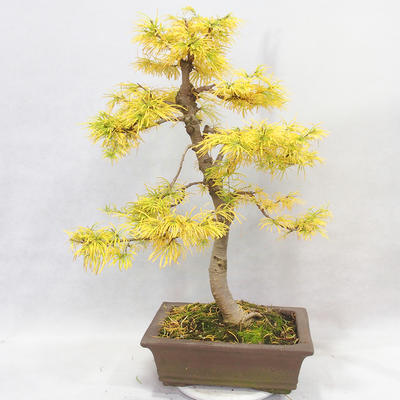 Outdoor bonsai - Pseudolarix amabilis - Pamodřín - 2