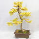 Outdoor bonsai - Pseudolarix amabilis - Pamodřín - 2/6
