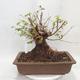 Outdoor bonsai -Mahalebka - Prunus mahaleb - 2/5