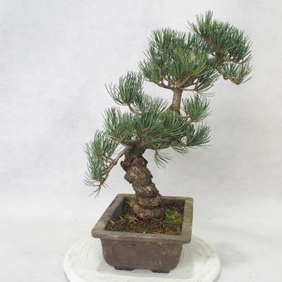 Outdoor bonsai - Pinus parviflora - Small-flowered pine - 2