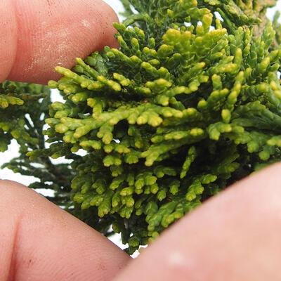 Outdoor bonsai - Cham.pis obtusa Nana Gracilis - Cypress - 2