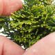 Outdoor bonsai - Cham.pis obtusa Nana Gracilis - Cypress - 2/2