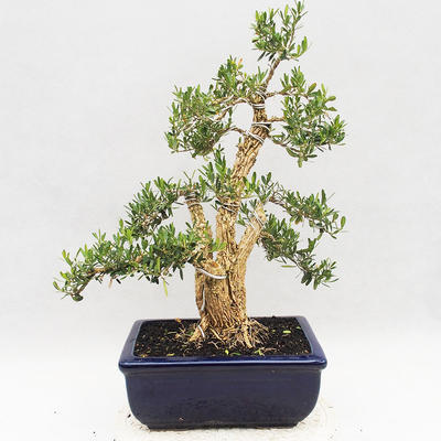 Indoor bonsai - Buxus harlandii - Cork boxwood - 2