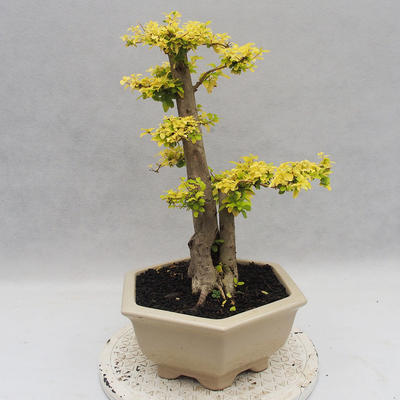 Indoor bonsai -Ligustrum Aurea - Bird's beak - 2