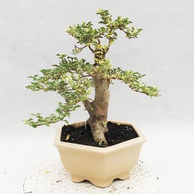 Indoor bonsai -Ligustrum Variegata - Bird's beak - 2