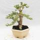 Indoor bonsai -Ligustrum Variegata - Bird's beak - 2/6